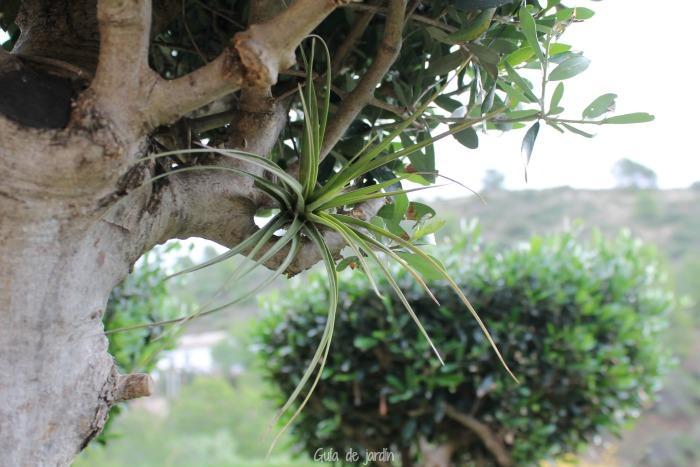 Cómo cuidar las Tillandsias {Clavel del aire} - Guia de jardin