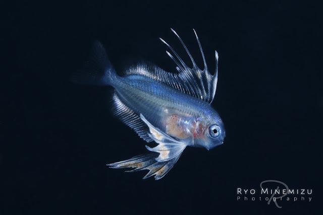 Larval-fish of Spinyfin velifer,ヒメクサアジの稚魚