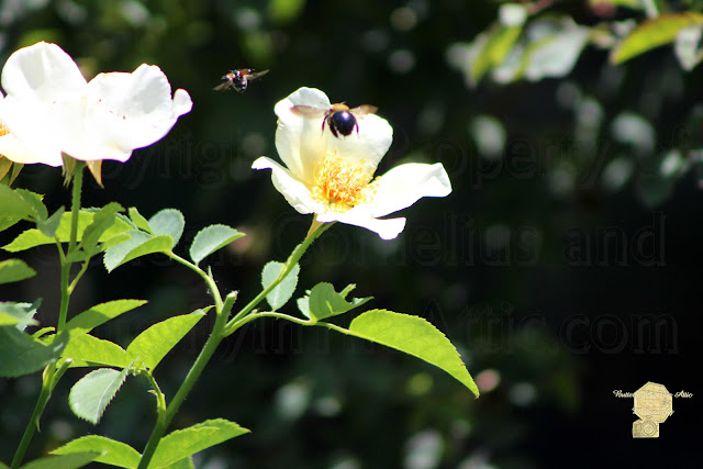 Honey Bees In Flight Over White Rose