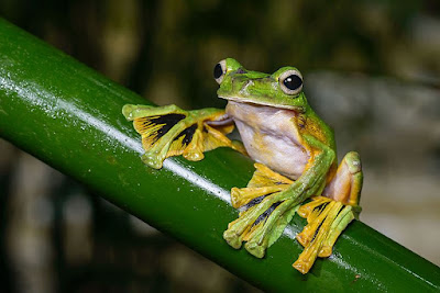 Wallace's flying frog is among several creatures that were designed to glide