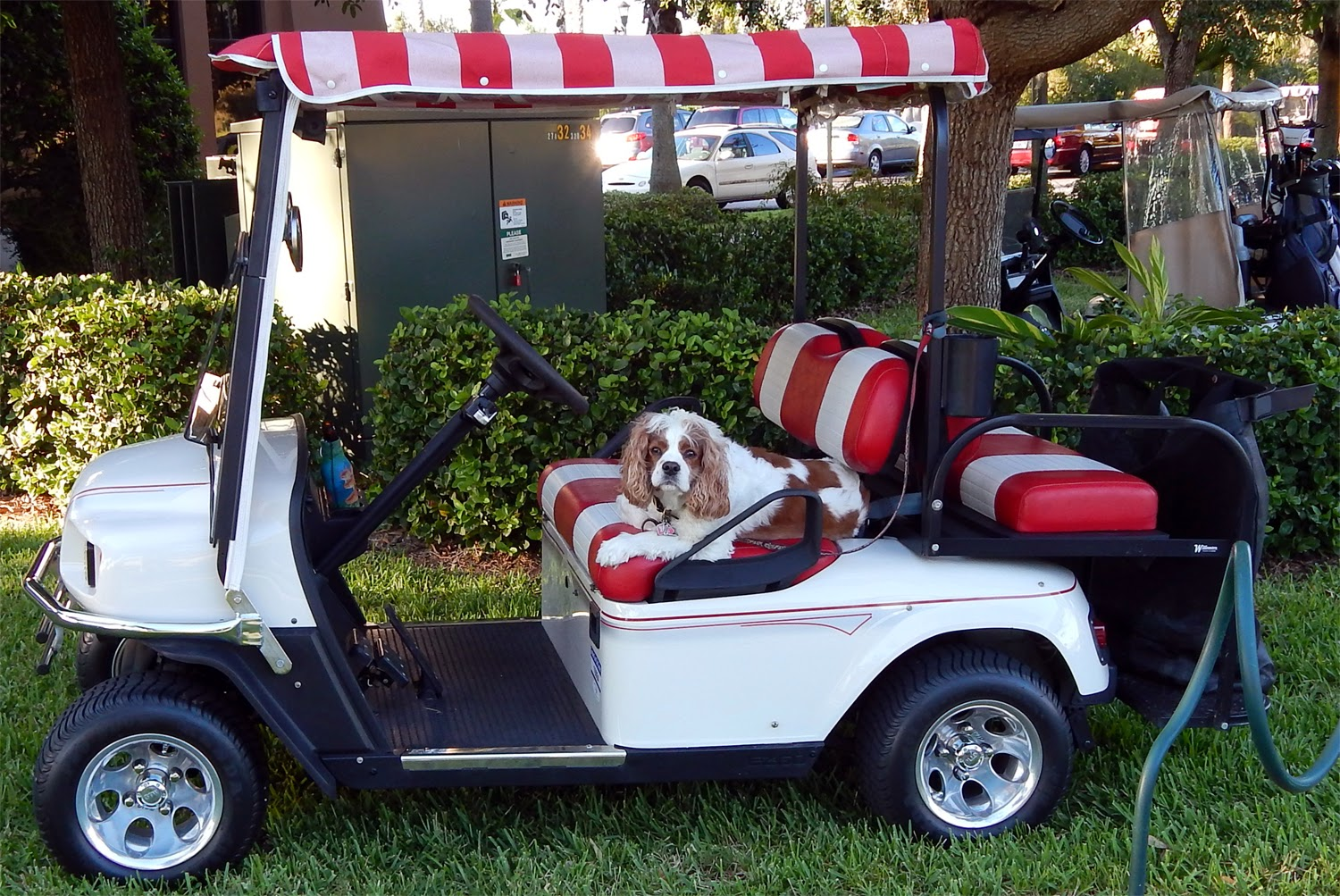 Dog Looking Into Camera While In Driver Seat In His Ez Go St Sport Ii Golf Cart In Sun City Center Fl on Star Golf Cart Wiring Diagram