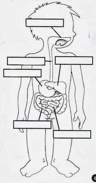 Resultado de imagen para actividades para trabajar el sistema digestivo en segundo grado