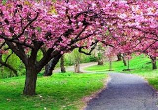 Ingin Foto dengan Bunga Sakura? Tak Perlu ke Jepang, Di Indonesia Juga Ada Lho..