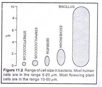perbandingan ukuran sel bakteri