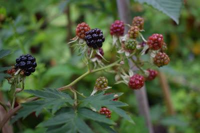 Björnbär 'Thornless Evergreen'