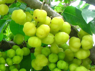Otaheite Gooseberry Fruit pictures