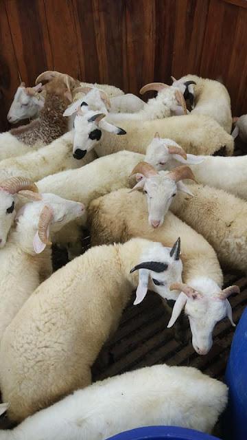 Tips Tepat Menjaga Kesehatan Domba
