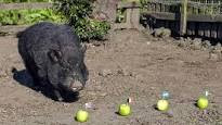 Nigeria will get to semi-finals, magical pig predicts [World Cup]