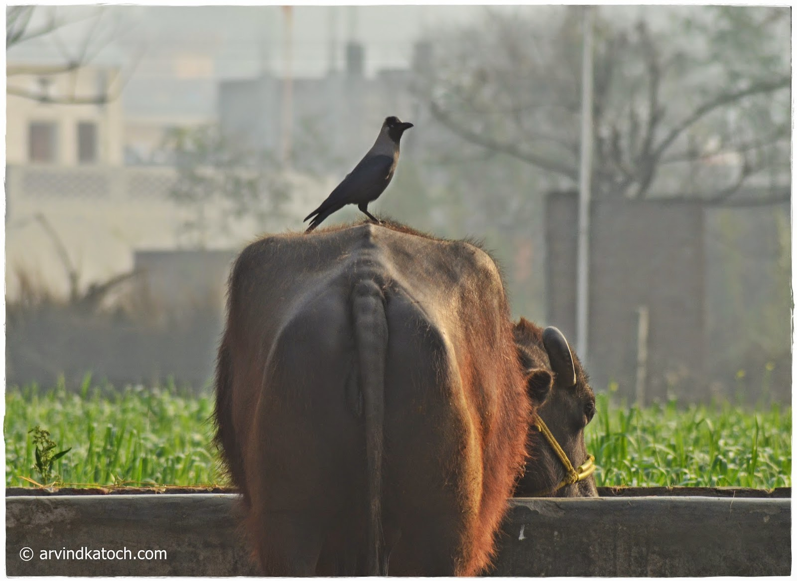 Indian Crow, Crow, House Crow, Buffalo,