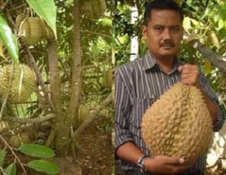 cara menanam durian cepat berbuah,cara menanam durian dari biji,cara menanam durian musang king,cara menanam durian montong,cara menanam durian bawor,cara menanam durian cangkokan,