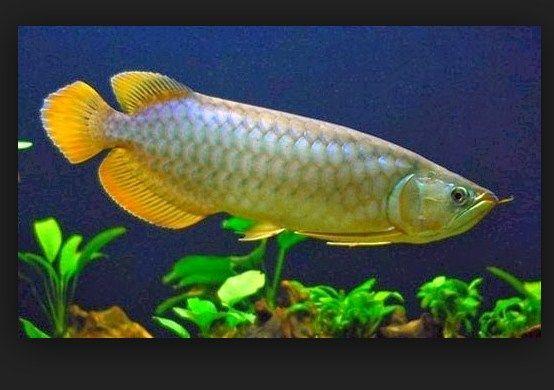 Harga Ikan Arwana Irian Sekarang Ini