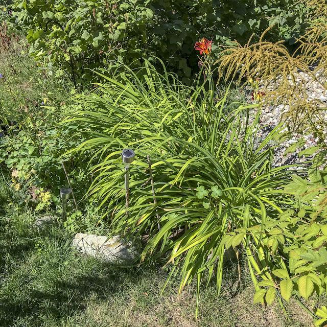 daglilja, daylily