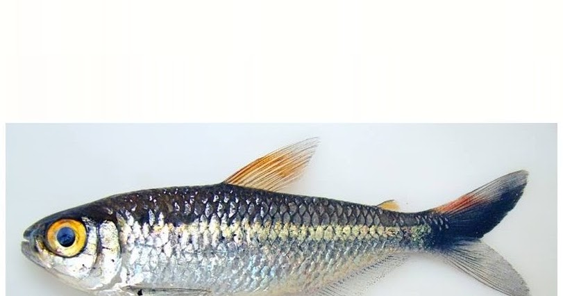 ... to the Species of the M. lepidura group (Characiformes: Characidae