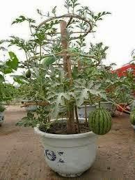 cara budidaya semangka dalam pot, cara menanam buah semangka di dalam pot, teknik menanam semangka dalam pot