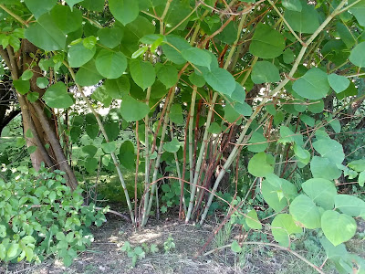Photograph of a close-up of a suspected thicket of Japanese knotweed close to the North Mymms war memorial on Tollgate Road. Image by North Mymms News released under Creative Commons