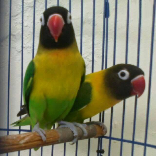 Ciri - Ciri Lovebird Bagus ] Love Bird Solusion Bagi Breeder burung Lovebird sebaiknya memperhatikan Ciri Lovebird Yang Bagus, Tips jitu berikut bisa kita gunakan untuk memilih dan menyeleksi LoveBird mana yang berkualitas dan yang tidak karena Indukan yang Baik akan sangat mempengaruhi keturunan atau LoveBird anakan nantinya. Banyak peternakLovebird pemula yang asal asalan dalam memilih Indukan akhirnya setelah berhasil menetaskan anakan kecewa karena kualitas tidak seperti yang di harapkan