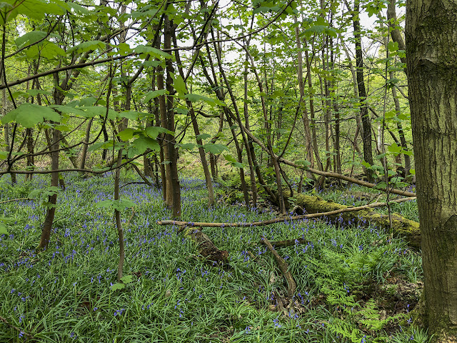 Woods by Eridge Rocks, 26 April 2018.