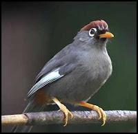 Membedakan jenis kelamin burung poksay