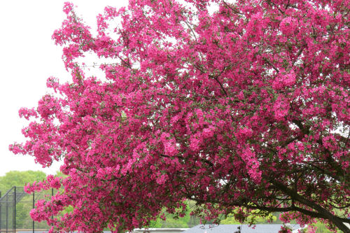 dark pink crabapple blossoms