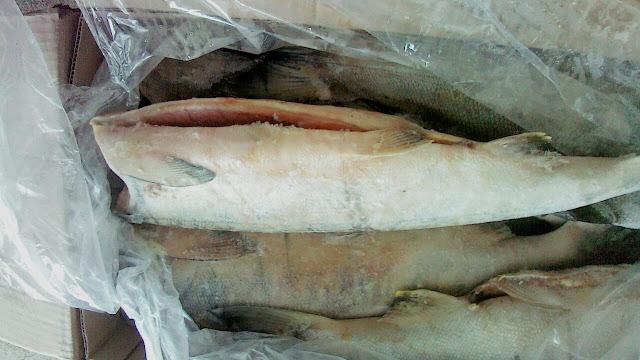 jual salmon