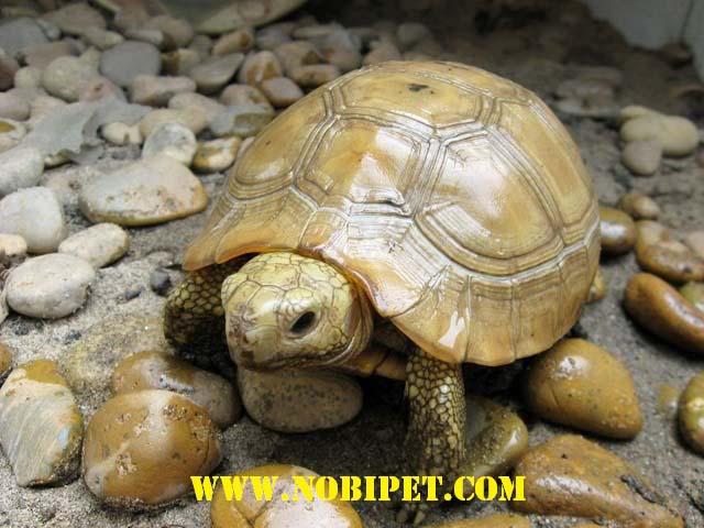 Rùa Núi Vàng nuôi cảnh và phong thủy cực đẹp