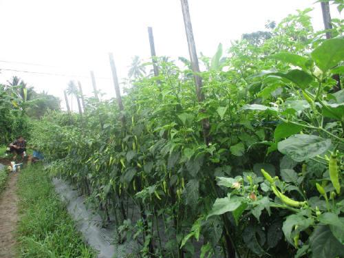 Jangan samapi tanaman yang tumbuh subur dan berbuah lebat berakhir tragis dihantam layu fusarium!