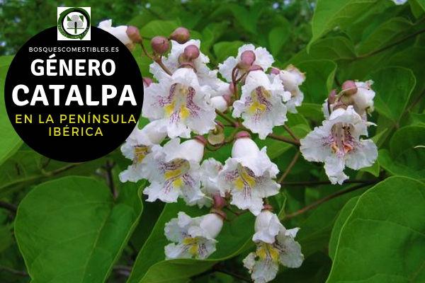 Lista del Género Catalpa, familia Bignoniaceae en la Península Ibérica
