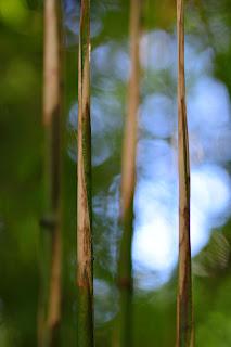 nature art photography of bamboo