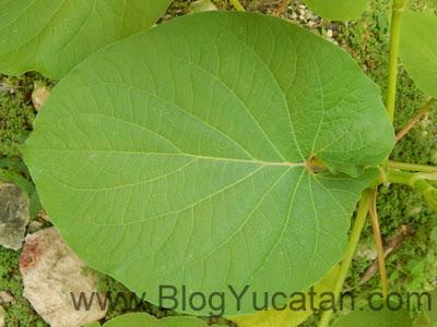 Planta Xmakulan Yucatan