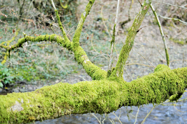 A gorgeous tree branch with moss covering it.