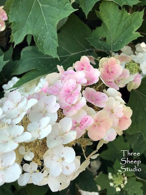 Oakleaf Hydrangea Bloom