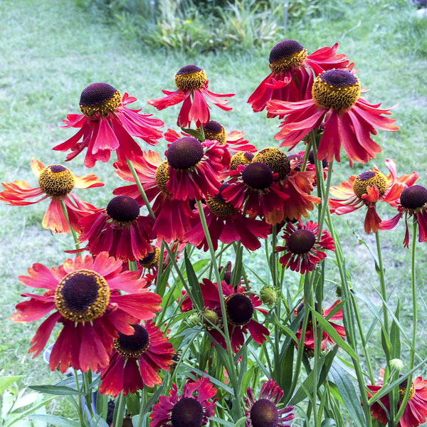 solbrud, helenium, moreheim_beauty