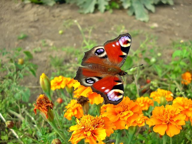 polskie motyle, kwiaty, owady