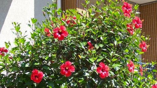 O hibisco é a flor símbolo do Havaí. Além disso é umas das plantas mais cultivadas nos jardins brasileiros, devido ao seu rápido crescimento, beleza e rusticidade. Há um grande número de variedades, que podem apresentar folhas estreitas ou largas, e flores das mais diversas formas, tamanhos e cores. São cerca de 300 espécies de hibisco, com flores e folhas exuberantes.