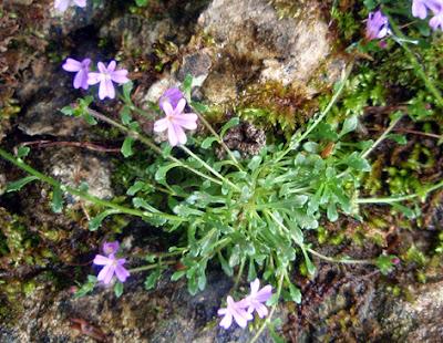 Erino de roca (Erinus alpinus)