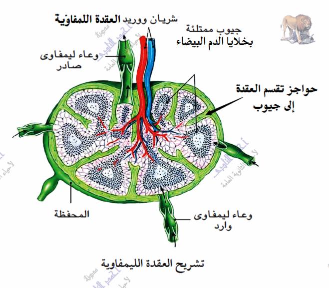 الجهاز المناعى - تركيب - الأوعية الليمفاوية - العقد الليمفاوية
