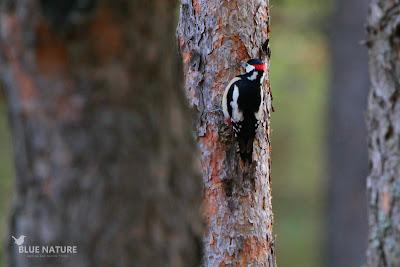 Pico picapinos (Dendrocopos major) macho buscando alimento.