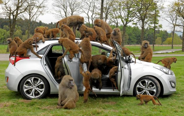 The animal zone: Ok, so who knows how to drive? Forty safari