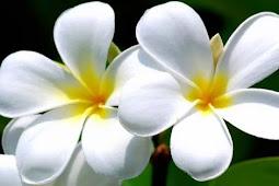 Beragam Manfaat Bunga Kamboja