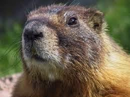 foto marmota