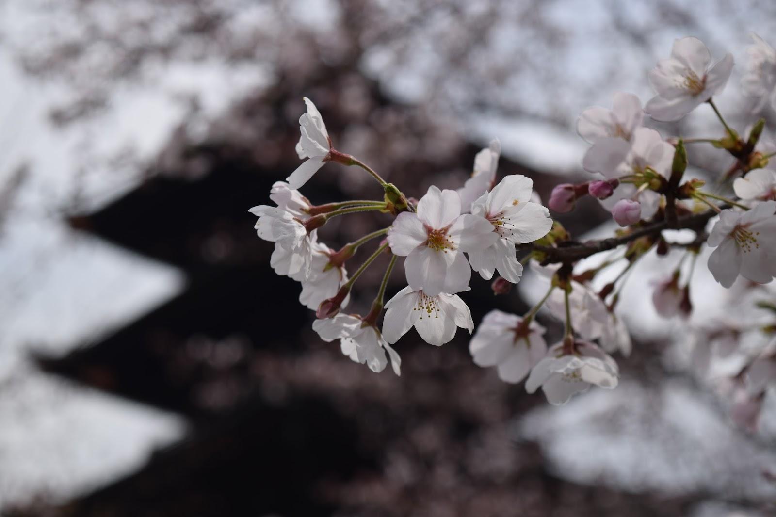Toji pagoda sakura