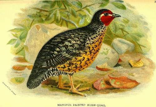Indian birds - Perdicula manipurensis