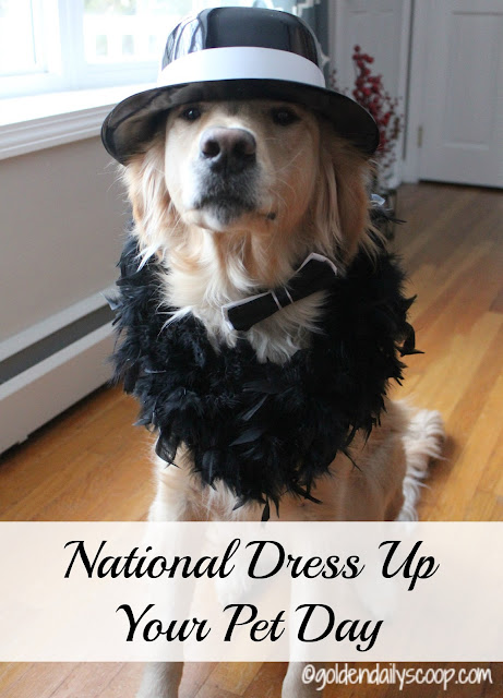 Golden Retriever Dress up for National Dress Up Your Pet Day 2016 Golden Daily Scoop