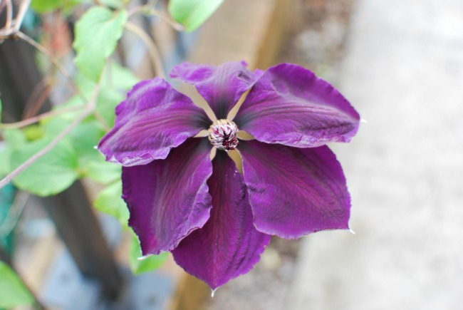 single purple clematis flower