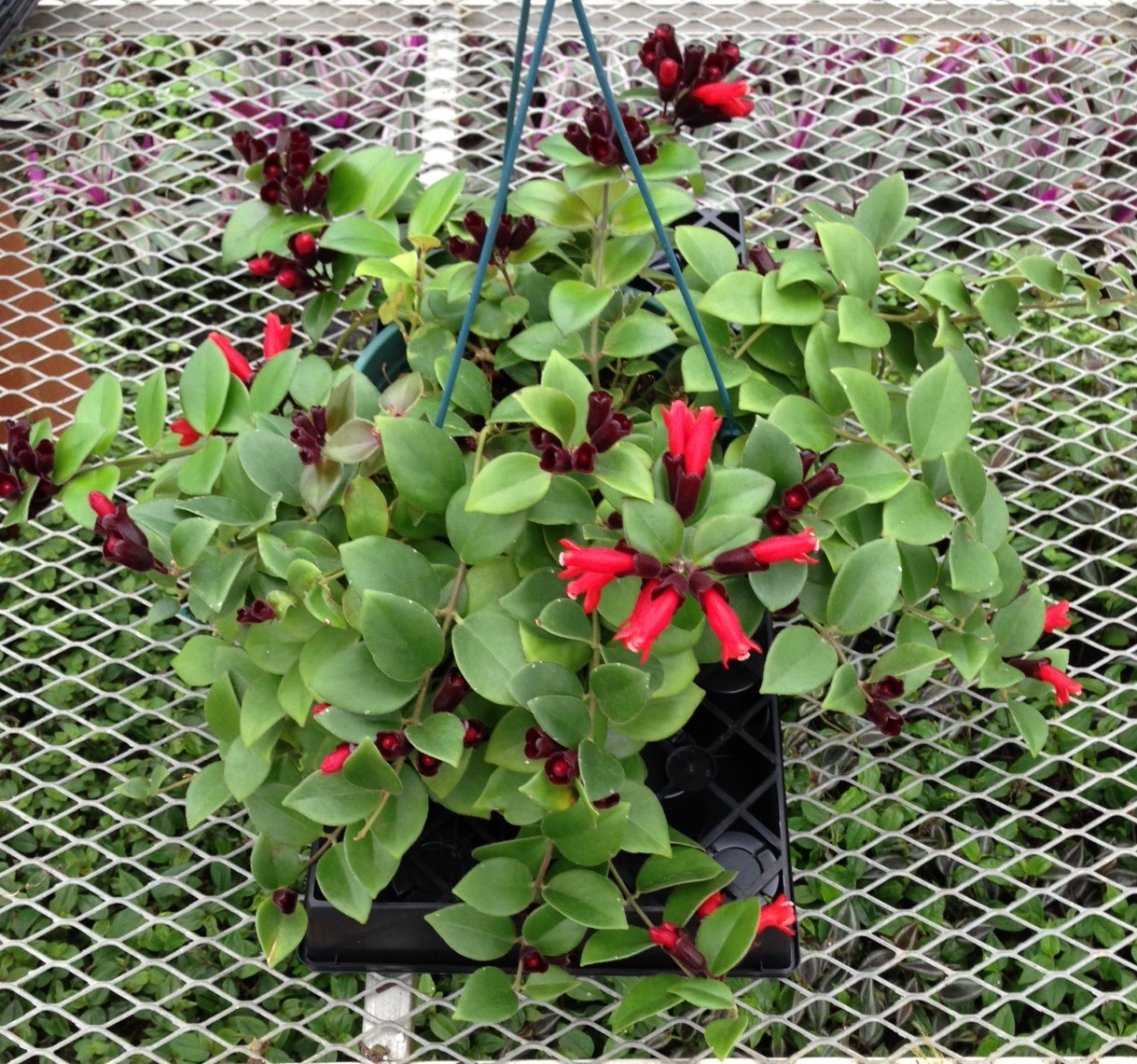 Gary S Specialty Plants Why Lipstick Plants Flower The