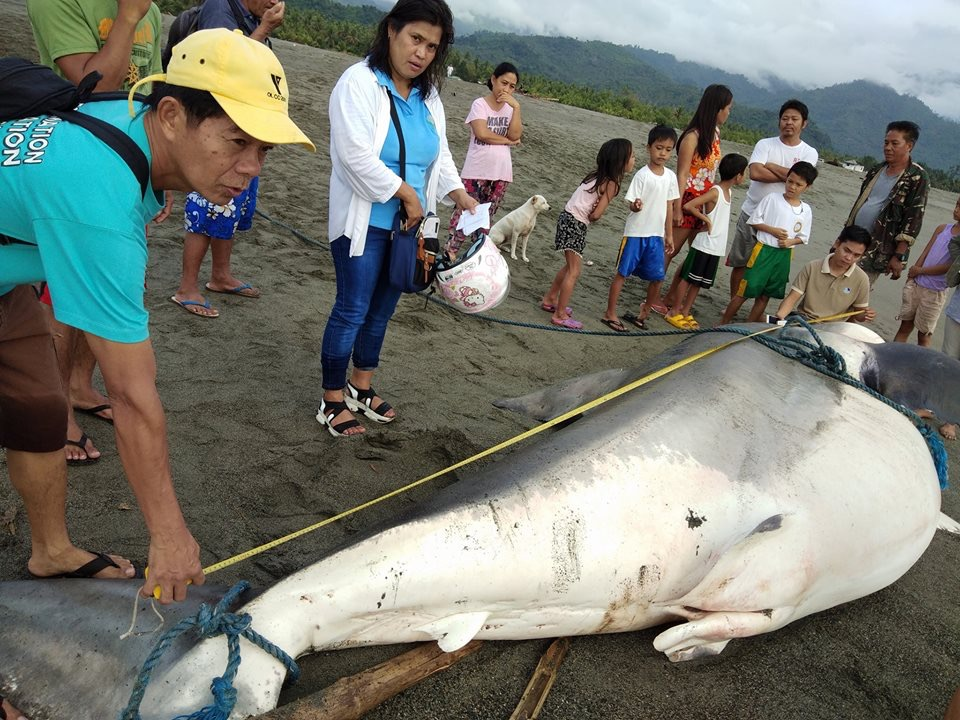 The shark that was found in Aurora is 17-ft