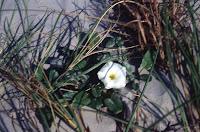 Ipomoea imperati, beach morning glory, flower