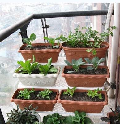 Tanam Sayur Dalam Pasu, Sesuai Untuk Rumah Teres Dan Apartmen...