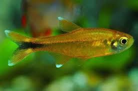 cá nana với đặc tính bơi theo đàn rất được yêu thích trong hồ thủy sinh