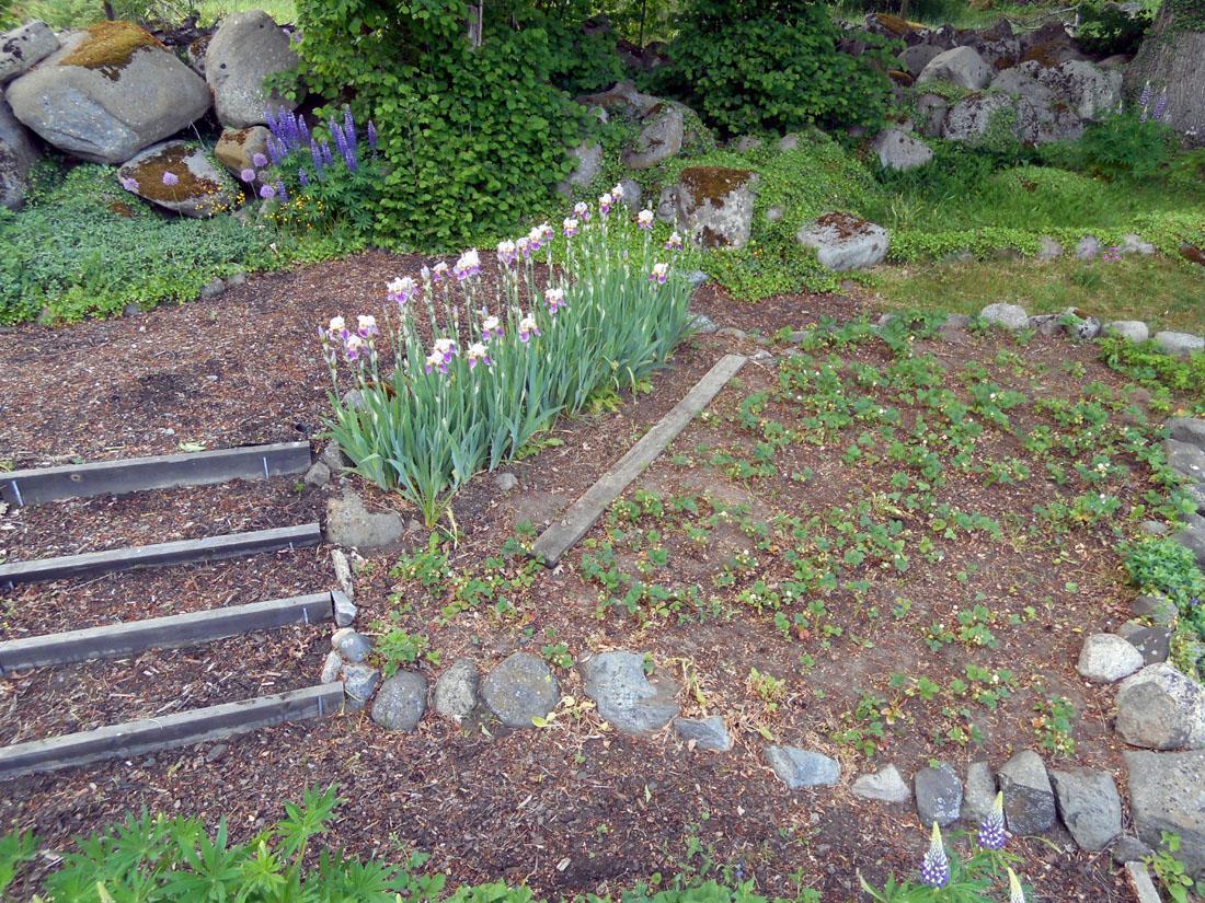 Piantagione di fragole e iris